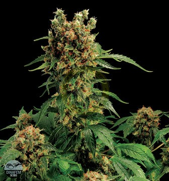 California Hashplant semillas marihuana