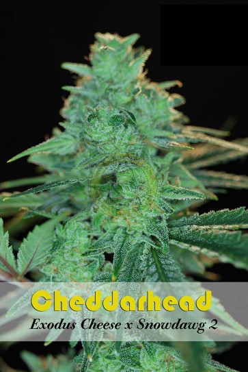 Cheddarhead 5 Unidades Regulares