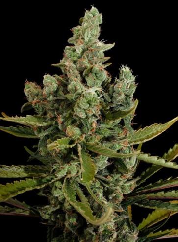 Semillas de marihuana Cheese feminizada