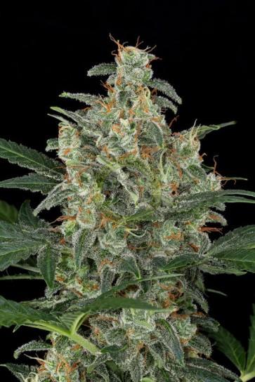 Semillas marihuana Cheese Autofloreciente
