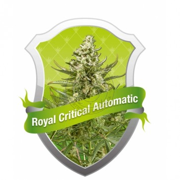 Royal Critical Automatic