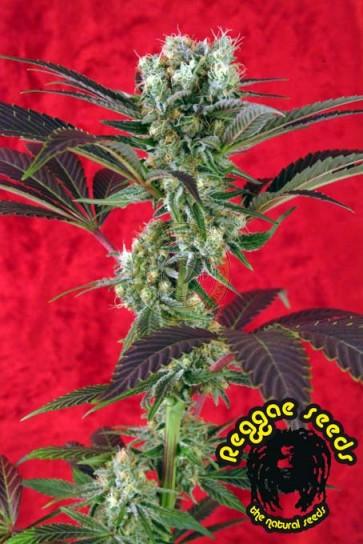 Kalijah Reggae seeds