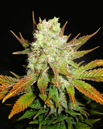 Romulan x Hash Plant Regular Next Generation Seeds