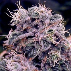 Blueberry OG 10 unidades regulares