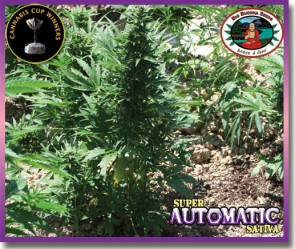 Super Automatic Sativa Semillas Femizadas