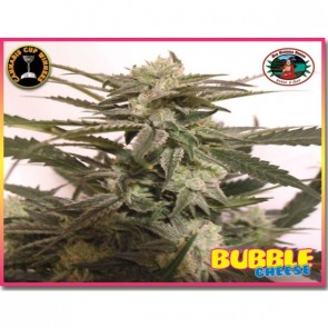 Bubble Cheese Semillas Feminizada