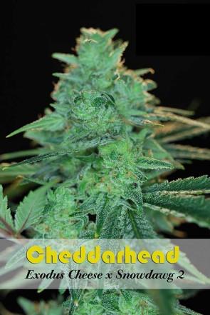 Cheddarhead 10 Unidades Regulares