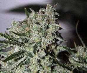 Ghost Train Haze #5 Semillas Regulares