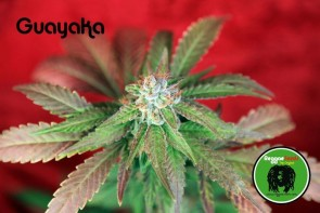 Guayaka Semillas regulares de marihuana