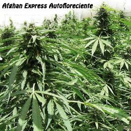 Afghan Express Autofloreciente