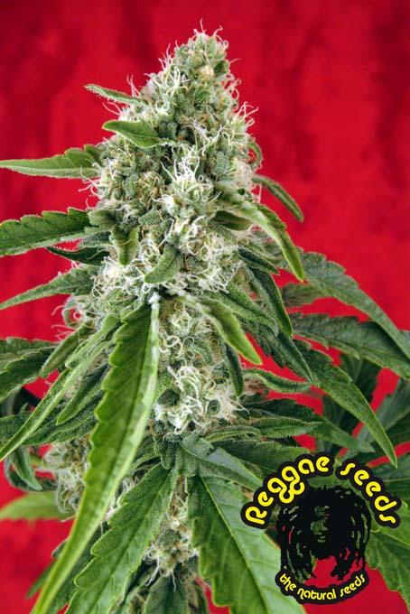 Dub una planta de marihuana sabrosa productiva y muy rapida