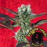 Kalijah una planta pionera en el banco de reggae seeds