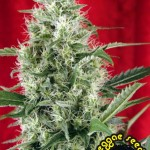 Session Reggae seeds marihuana regular de alta calidad