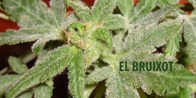 Oidio en cultivo marihuana