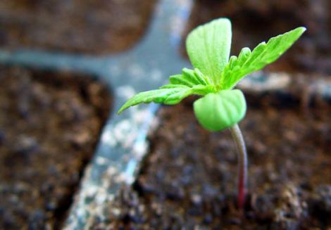 planta-de-marihuana-2