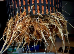 Artículo: Oxigenación de raíces en mi huerto urbano (Evitando Anoxia) Roots23-300x219