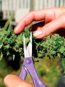 Limpiando-marihuana