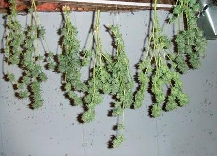 Secando-marihuana