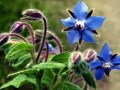Extracto Fermentado de Consuelda,la floración exuberante